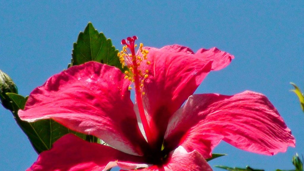 flor de cayena 03